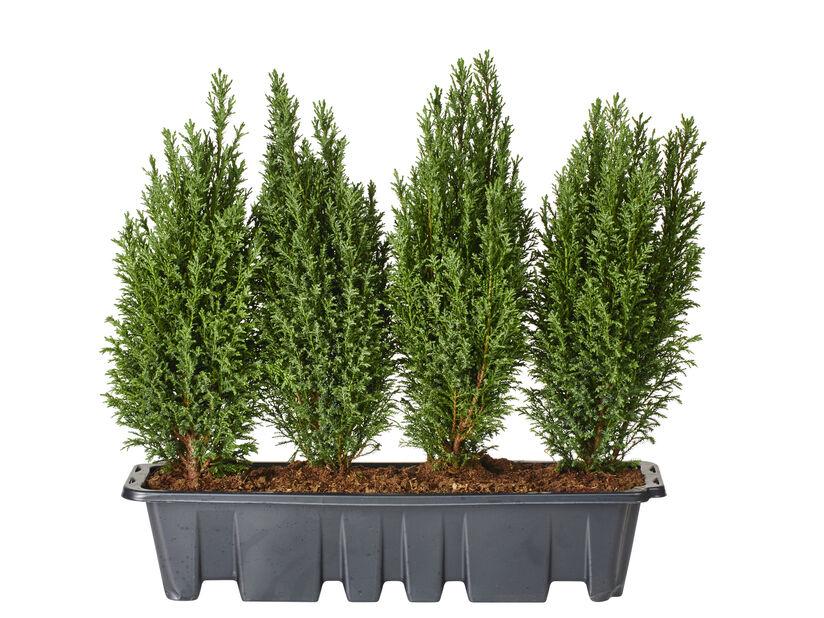Ädelcypress 'Ellwoodii' 55 cm