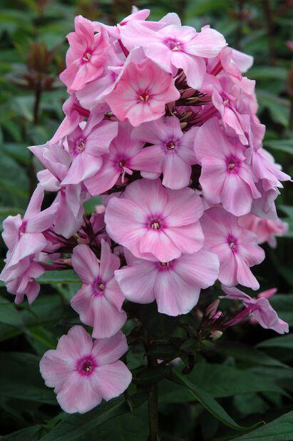 Höstflox 'Sweet Summer Fragrance', Ø11 cm, Rosa