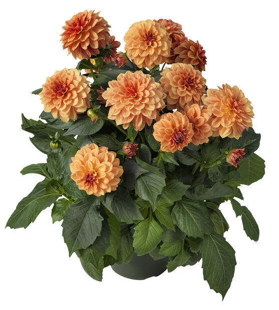 Dahlia fylldblommig, Ø27 cm, Flera färger