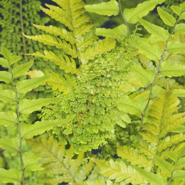 Ormbunkar, olika sorter, Ø15 cm, Grön