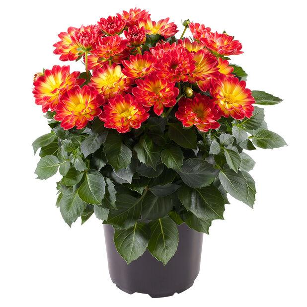 Dahlia, Ø12 cm, Flera färger
