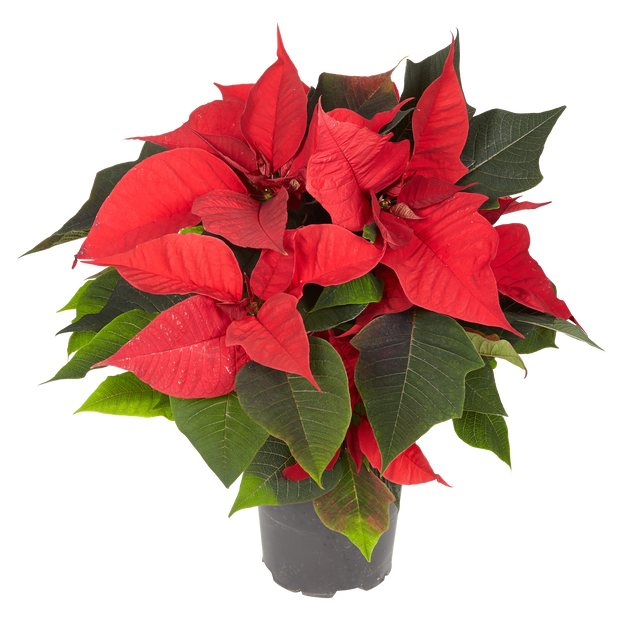 Julstjärna flergrenad, Ø12 cm, Röd