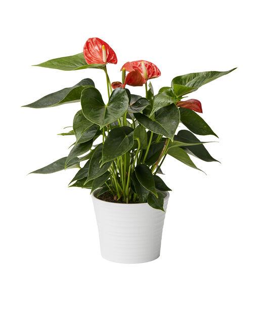 Rosenkalla, Höjd 45 cm, Orange