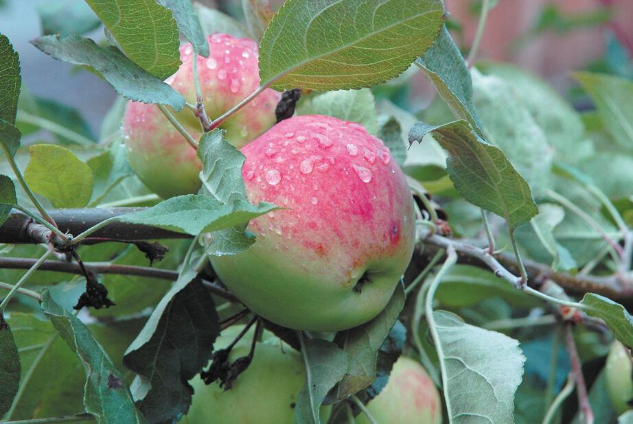 Äpple Mantet