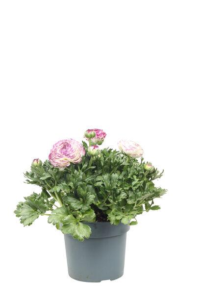 Ranunkel 'Maché Vanilla Rose', Ø19 cm, Flera färger