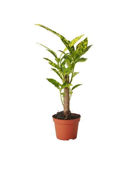 Grönväxter mini , Höjd 10 cm, Grön