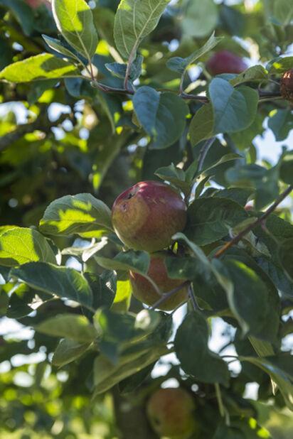 Äpple 'Keltakaneli', Höjd 180 cm, Gul