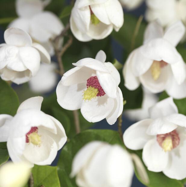 Buskmagnolia, Höjd 50 cm, Vit