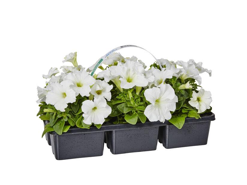 Petunia 6-pack vit