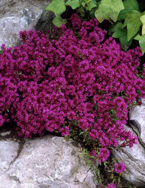 Backtimjan 'Purple Beauty'