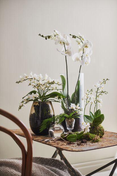 Brudorkidé 'Wild White', Höjd 45 cm, Vit