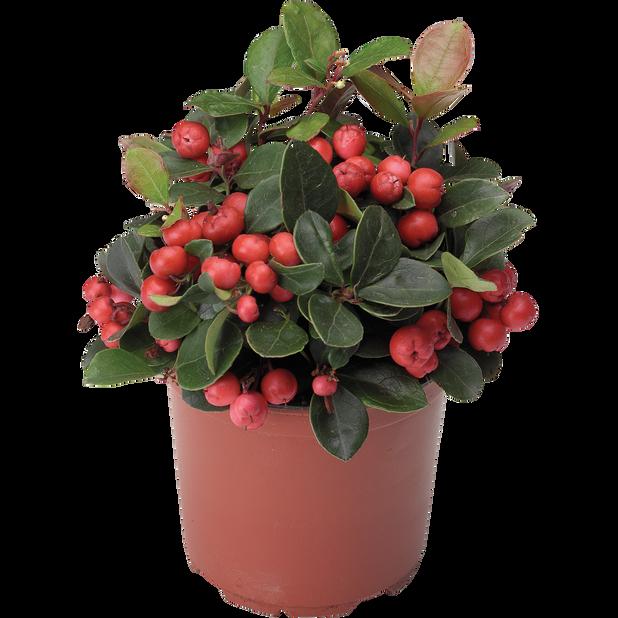 Vaktelbär 'Big Berry', Ø9 cm, Röd