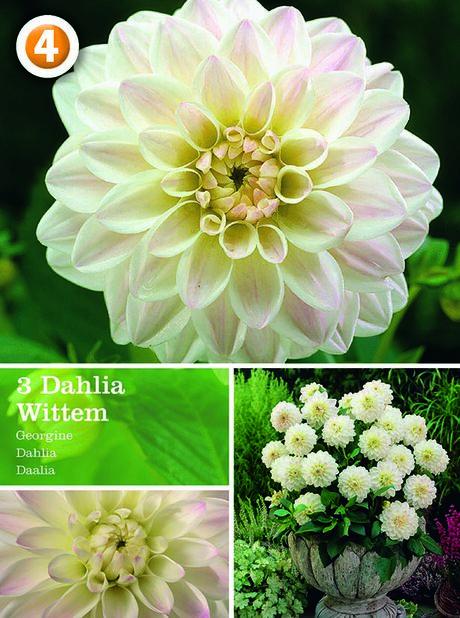 Dahlia 'Wittem', Vit