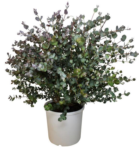 Silvereukalyptus, Ø23 cm, Grå