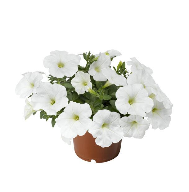 Petunia 'White', Ø12 cm, Vit