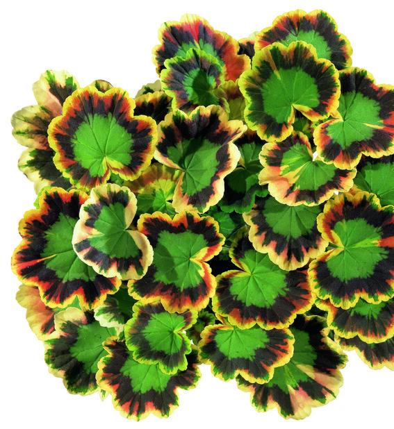 Brokbladig zonalpelargon 'Mrs Pollock', Ø12 cm, Flerfärgad