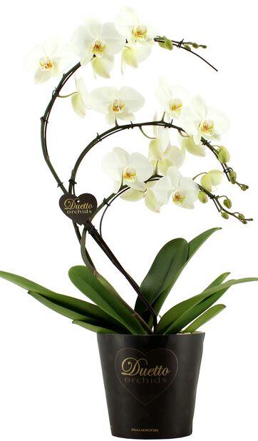 Phalaenopsis Duetto Swan, Höjd 50 cm, Vit