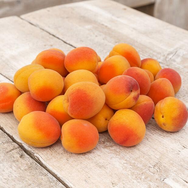Aprikos 'Orangered'  , Höjd 180 cm, Röd