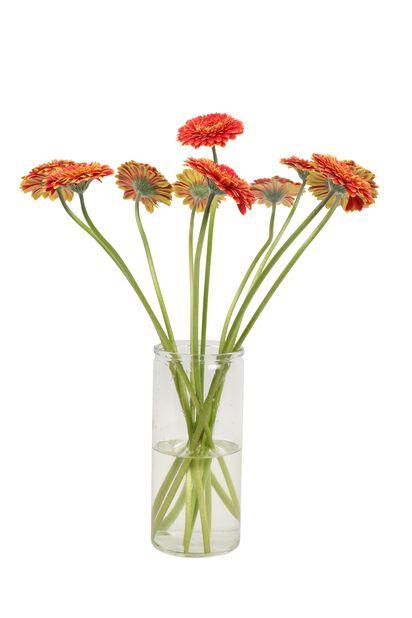 Gerbera 10-pack, Höjd 50 cm, Flera färger