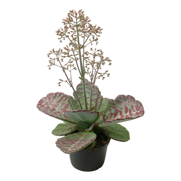 Kalanchoe 'Desert Surprise', Höjd 30 cm, Grön