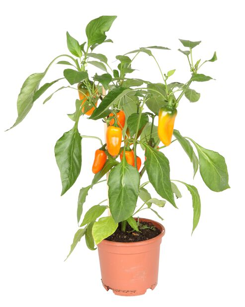 Snackpaprika, Ø14 cm, Orange