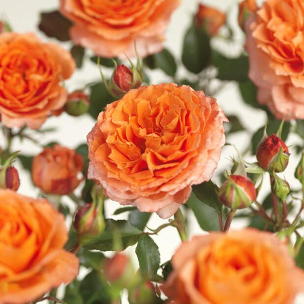 Terrass-ros 'Meilove orange', Ø23 cm, Orange