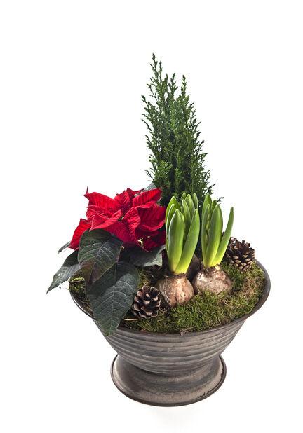 Växtgrupp Andreas, Flerfärgad