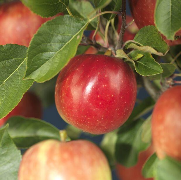 Malus 'Rød Aroma Fagravoll' 5L