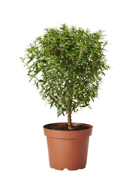 Myrten, Höjd 30 cm, Grön
