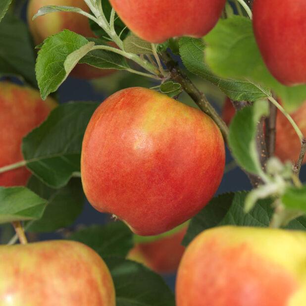 Äpple 'Elstar', Höjd 180 cm, Röd
