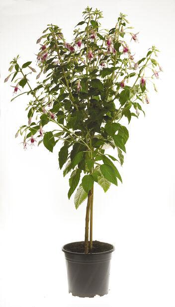 Fuchsia på stam