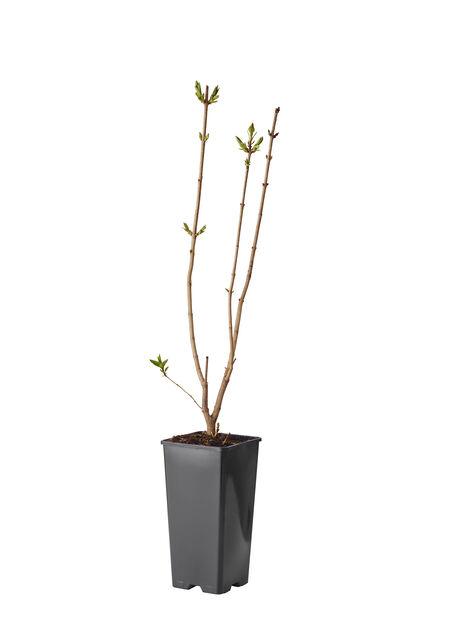Syren, Ø17 cm, Rosa