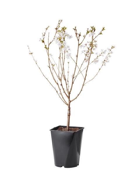 Kurilerkörsbär 'Brilliant', Höjd 50 cm, Vit