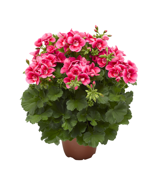 Pelargon 'Pink Splash', Ø14 cm, Rosa