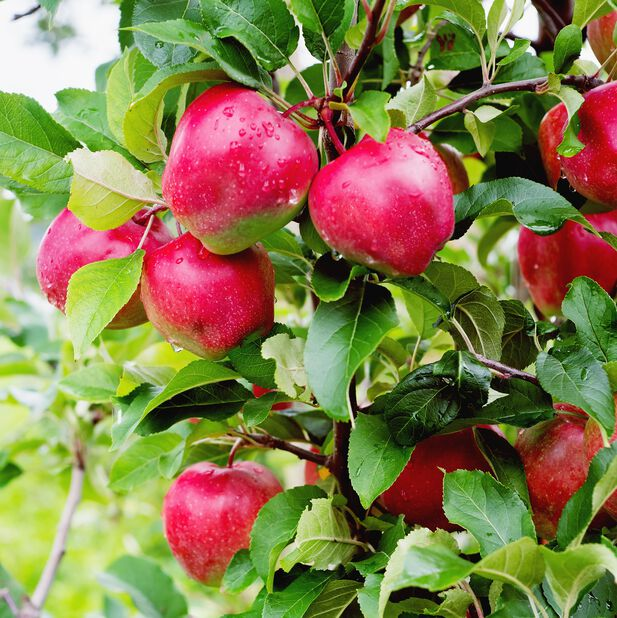 Äpple 'Gloster', Höjd 160 cm, Röd