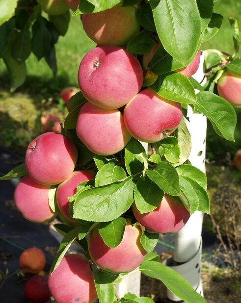 Äpple 'Rød Melba' 7L