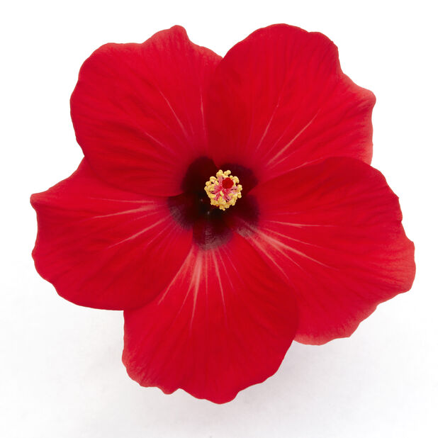 Hibiskus, Höjd 25 cm, Röd