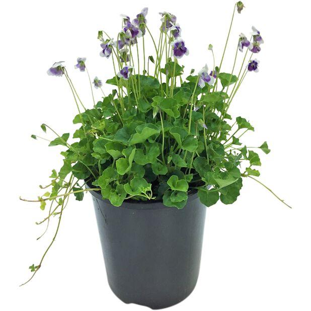 Murgrönsviol, Ø9 cm, Blå