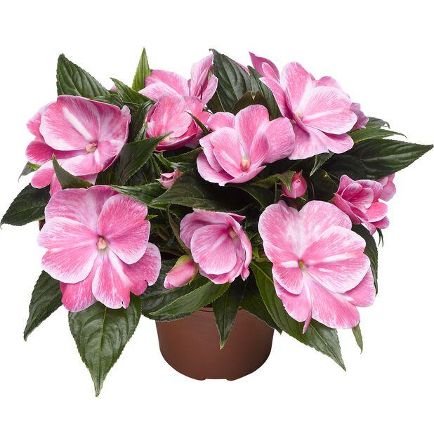 Lyckliga Lotta 'New Guinea', Ø12 cm, Rosa