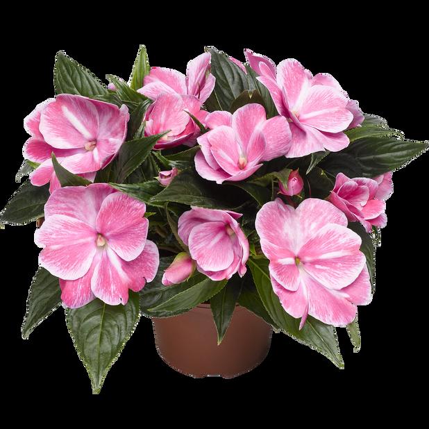 Lyckliga Lotta, Ø12 cm, Rosa