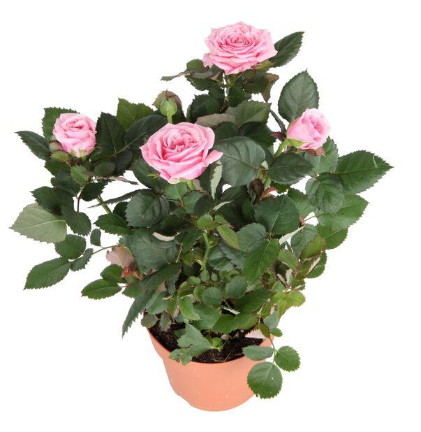 Krukros, Höjd 32 cm, Rosa