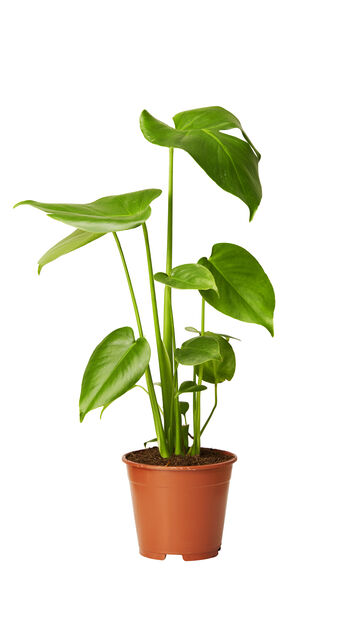Monstera, Höjd 55 cm, Grön