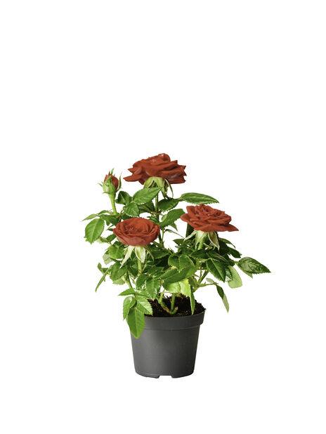 Krukros, Höjd 12 cm, Röd