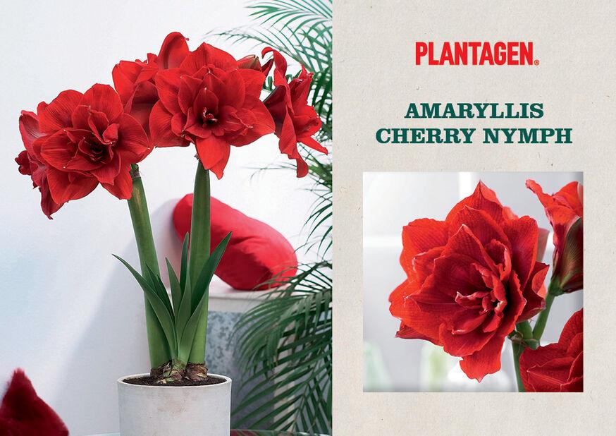 Amaryllis 'Cherry Nymph', Röd