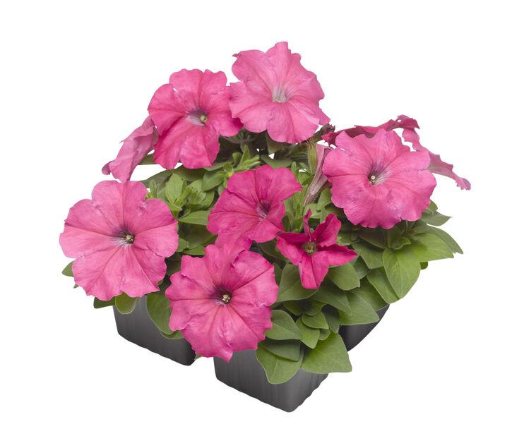 Petunia, 6-pack, Rosa