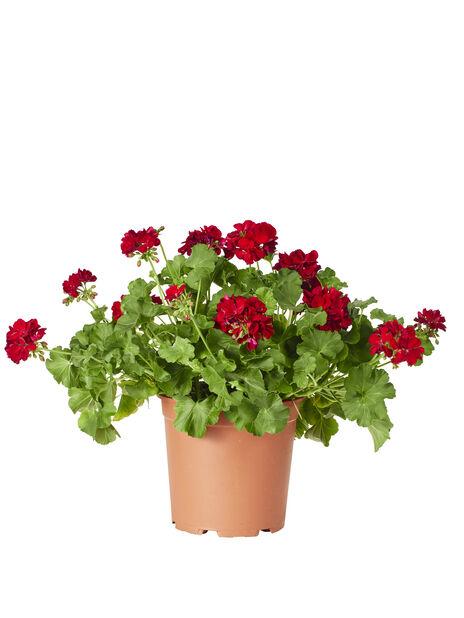 Kärlekspelargon 'Dark Red', Ø27 cm, Röd