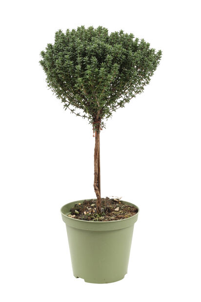Kryddtimjan på stam, Ø14 cm, Grön