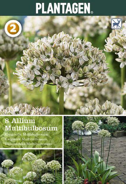 Allium 'Multibulbosum'