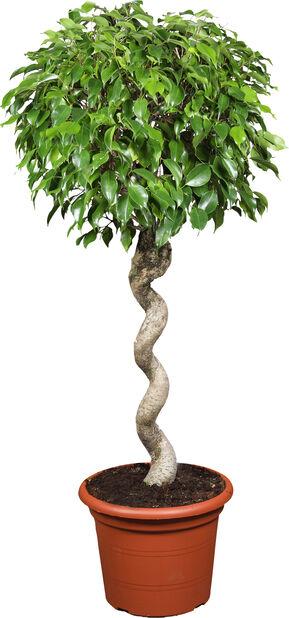 Fikus 'Wintergreen', Höjd 135 cm, Grön