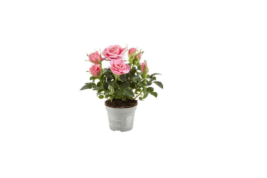 Krukros, Höjd 12 cm, Rosa